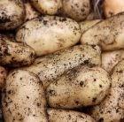 potato - first early, Scottish basic seed potato