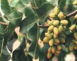 Pistacia lentiscus (mastic tree)