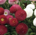 50 plus 20 FREE Bellis Belle Garden Ready Plugs