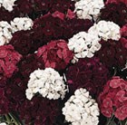 50 plus 20 FREE Sweet William Fragrant Fever Garden Ready Plugs