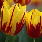 Tulipa Mickey Mouse