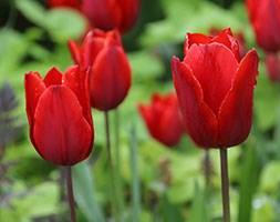 Tulipa 'Couleur Cardinal' (triumph tulip bulbs)