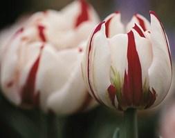 Tulipa 'Carnaval de Nice' (double late tulip)