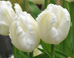 Tulipa 'White Parrot' (parrot tulip bulbs)