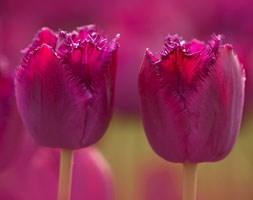 Tulipa 'Curly Sue' (fringed tulip bulbs)