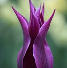 lily flowered tulip