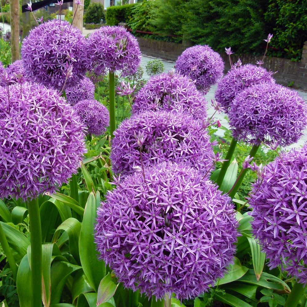ornamental onion bulbs