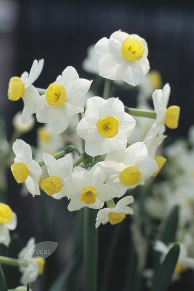 tazetta daffodil bulbs