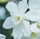 triandrus daffodil
