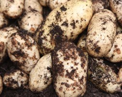 potato - early maincrop