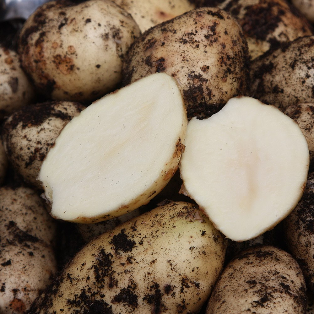 potato - early maincrop, Scottish basic seed potato