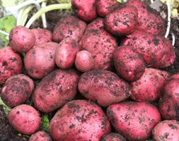 potato 'Red Duke of York' (potato - first early, Scottish basic seed potato)
