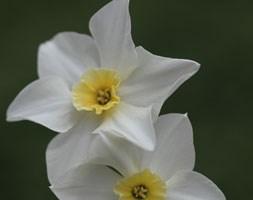 Narcissus 'Lieke' (jonquilla daffodil bulbs)