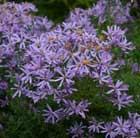 michalmas daisy