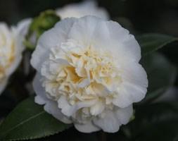 Camellia x  williamsii 'Jury's Yellow' (camellia)