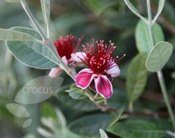 Acca sellowiana (pineapple guava (syn. Feijoa))