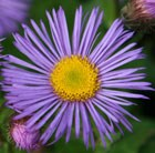 fleabane (Syn Darkest of All)