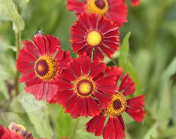 Helenium 'Ruby Thuesday' (sneezeweed (syn Ruby Tuesday))