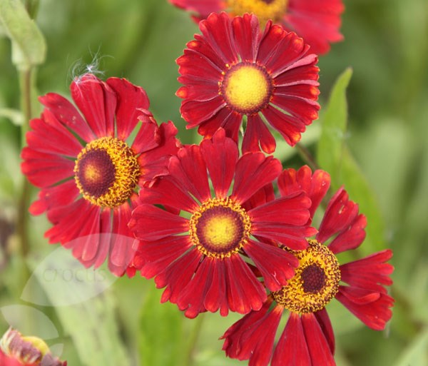 sneezeweed (syn Ruby Tuesday)