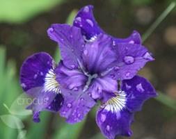 Iris sibirica 'Shirley Pope' (Siberian iris)