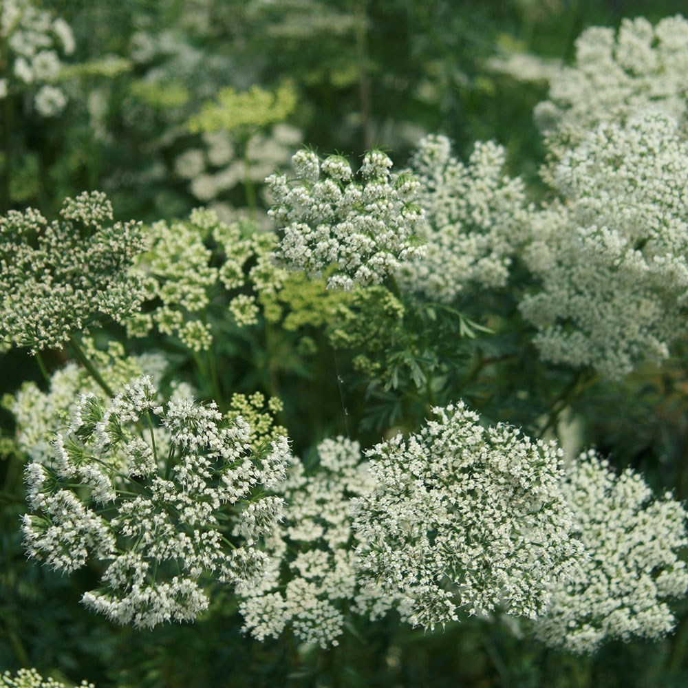 Baltic parsley