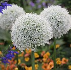 Allium stipitatum Mount Everest