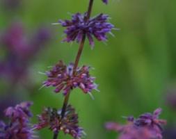 Salvia verticillata 'Purple Rain' (salvia)