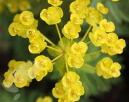 Euphorbia seguieriana niciciana (spurge)
