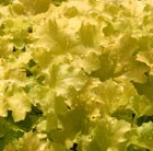 Heuchera Lime Rickey (PBR) (Rainbow Series)