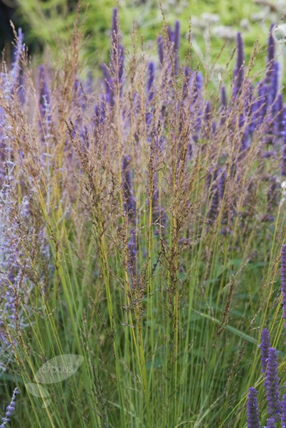purple moor grass