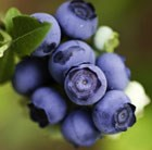 blueberry Ozarkblue