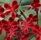 one pelargonium