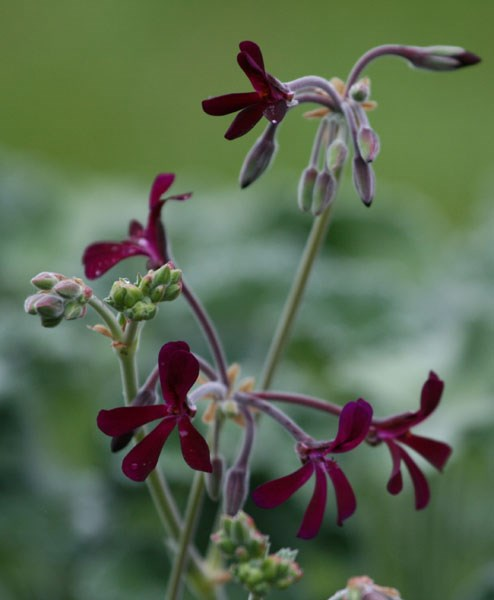 three species pelargoniums