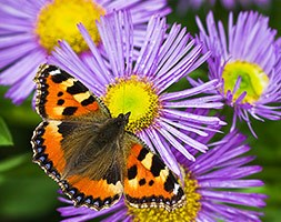 Aster amellus 'King George' (aster)