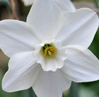 Narcissus Easter Moon
