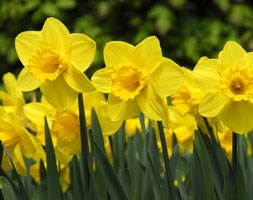 Narcissus 'Carlton' (large cupped daffodil bulbs)