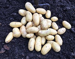 potato 'Jazzy' (potato - second early, Scottish basic seed potato)