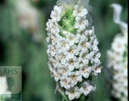 Lavandula stoechas  subsp. stoechas  f. leucantha 'Snowman' (French lavender)