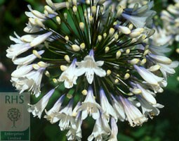 Agapanthus 'Enigma' (African lily)