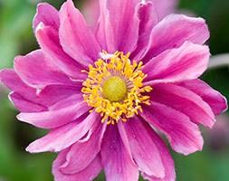 Anemone hupehensis var. japonica 'Pamina' (Japanese anemone)