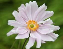 Anemone x hybrida 'Konigin Charlotte' (Japanese anemone)