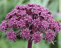 Angelica gigas (purple angelica)
