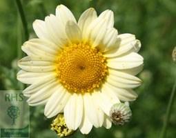 Anthemis tinctoria 'Sauce Hollandaise' (dyer's chamomile)
