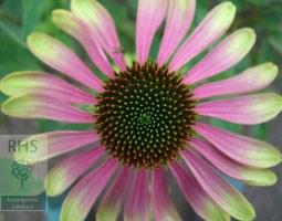 Echinacea 'Green Envy' (PBR) (coneflower)