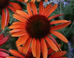 Echinacea 'Sundown' (PBR) (Big Sky Series) (coneflower)