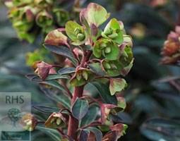 Euphorbia Blackbird ('Nothowlee') (PBR) (spurge)
