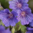 Geranium Sabani Blue ('Bremigo') (PBR)