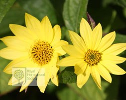 Helianthus 'Lemon Queen' (Helianthus Lemon Queen)
