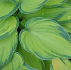 Hosta (Tardiana Group) June