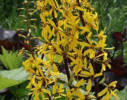 Ligularia 'The Rocket' (Ligularia Britt-Marie Crawford)